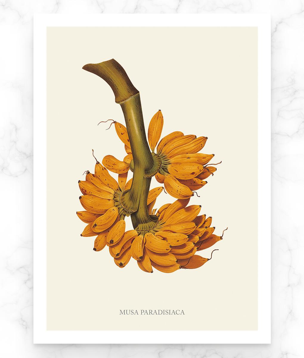 Musa paradisiaca, une superbe reproduction botanique d'une banane plantain