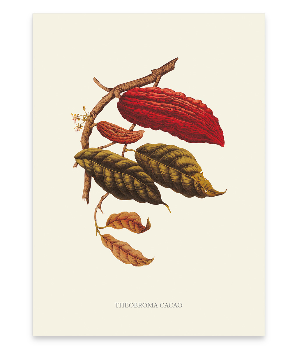 Theobroma Cacao, une superbe reproduction botanique d'un cacaotier