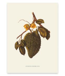 Annona muticata, une superbe reproduction d'un arbre fruitier tropical
