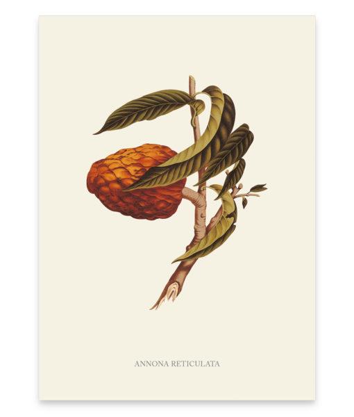 Annona reticulata, une superbe reproduction d'un petit arbre fruitier