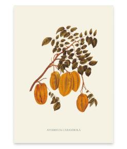 Averrhoa carambola, une superbe reproduction de fruits exotiques