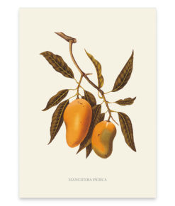 Mangifera indica, une superbe reproduction botanique d'un manguier